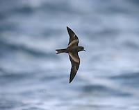 Swinhoe's Petrel - Oceanodroma monorhis