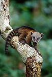 A young common coatimundi, Peru.