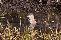 Nankeen Night-Heron bathing, Yellow Water, Kakadu NP, NT, Australia