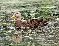 Female mottled duck