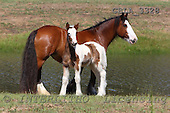 Bob, ANIMALS, horses, photos, GBLA3328,#a# Pferde, caballos