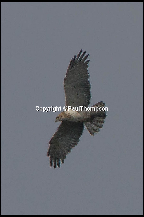 BNPS.co.uk (01202 558833)<br /> Pic: PaulThompson/BNPS<br /> <br /> ****Please use full byline****<br /> <br /> Hundreds of bird watchers have flocked to a nature reserve in Dorset after a rare short-toed eagle arrived there on Saturday.<br /> <br /> About 700 people travelled to Morden Bog, near Wareham, over the weekend.<br /> <br /> It is thought to be first sighting of the species on the British mainland.<br /> <br /> The birds are common in central and southern Europe and have a wingspan of up to 6ft.<br /> <br /> Short-toed eagles migrate from Africa in the spring and can live up to 30 years.