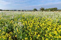 Cover crop - Norfolk, October