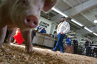 Judge Russ Dietz watches FFA students control their pigs at a showmanship competition at the Northwest Junior Livestock Show at the Washington State Spring Fair in Puyallup, Washington on April 17, 2015.  Eash contestant must take care of and exhibit their own animals. (© Karen Ducey Photography)