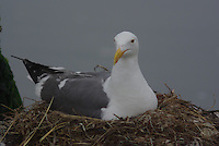 Great Black-backed Gull on the nest at the end of a boat dock near Monterey California.