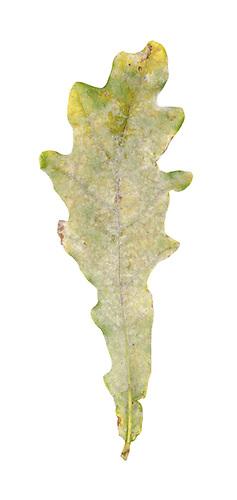 Oak Powdery Mildew - Microsphaera alphitoides