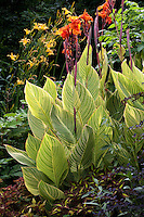 Orange-flowered Variegated Canna Lily (Canna americanallis var. variegata) 'Pretoria' in shade garden