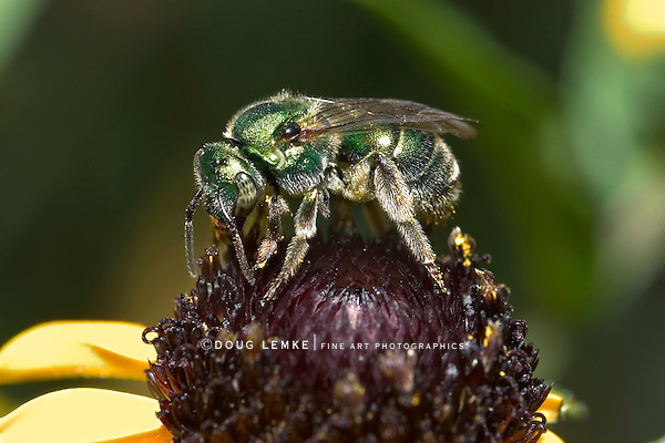 Metallic Green Bee Nectaring On A Black Eyed Susan Flower, Agapostemon, Halictid Bee, Halictidae