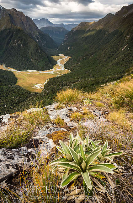 Sunset views into Routeburn Flats from near Routeburn Falls hut with alpine daisy, Mt. Aspiring National Park, UNESCO World Heritage Area, Central Otago, New Zealand, NZ