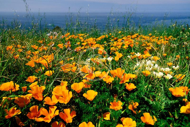 California, Mendocino County, California poppies, Navarro Bluff