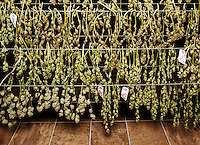 Marijuana buds hang to dry at the Medicine Man grow house in Denver, Colorado, Tuesday, March 5, 2013. With Colorado's Amendment 64, the state has been working to decide how it will transition to legalized marijuana in the state...Photo by Matt Nager