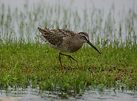 Adult short-billed dowitcher in non-breeding plumage
