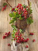 Fresh picked berries from a Crataegus bush,  commonly called hawthorn, thornapple, May-tree, whitethorn, or hawberry