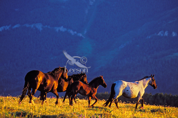 Wild horses or mustangs, Pryor Mountain Wild horse Refuge, Montana.  July.  Last five muinutes of light.  (Equus caballus)