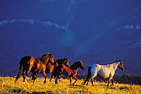 Wild horses or mustangs, Pryor Mountain Wild horse Refuge, Montana.  July.  Last five muinutes of light.  (Equus caballus)
