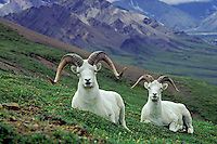 Dall sheep rams (Ovis dalli), Alaska