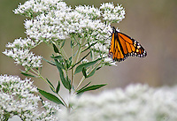 A Monarch Butterfly sits on a Boneset flower head at the West Beach Unit at Indiana Dunes National Lakeshore, Porter County, Indiana