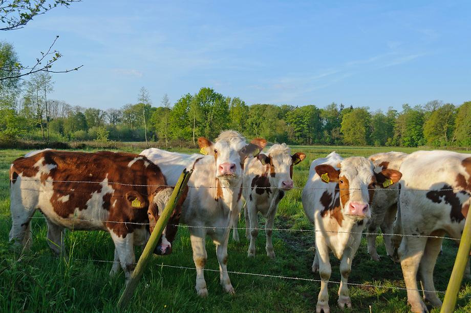 Jong vee in wieland, Haanwijk
