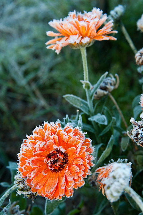 Autumn hoar frost on end-of-season marigolds, late October.