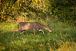 White-tailed doe sneaking through an autumn field.