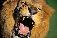Male African Lion roaring.