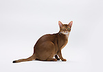 Abyssinian Cat, 9 months old, Male, Chocolate colour - sitting showing ticking coat