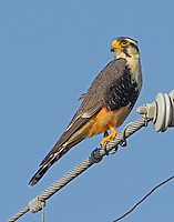 Adult aplomado falcon