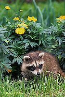 MA22-024x  Raccoon - young animal exploring in garden - Procyon lotor