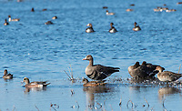 Greater White-fronted Goose, Anser albifrons, Northern Pintail, Anas acuta, and American Wigeon, Anas americana, at Sacramento National Wildlife Refuge, California