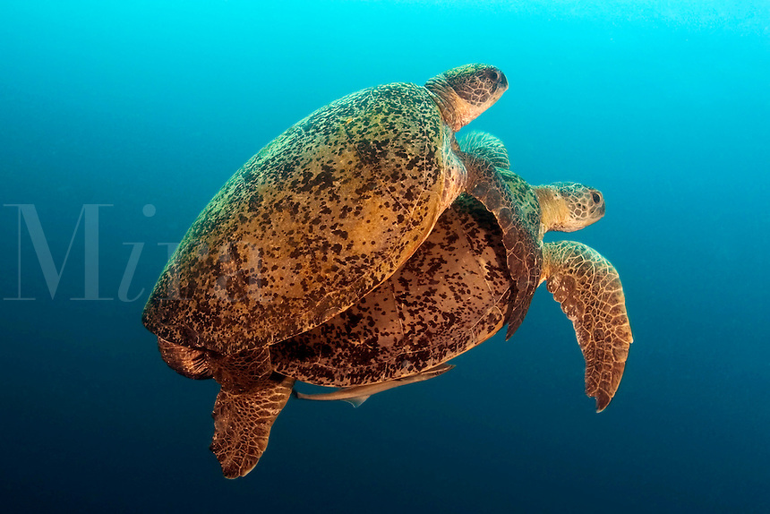 This male green sea turtle, Chelonia mydas, is coupled with the female who tows the clinging male through the water.  A remora can be seen attached to the underside of the female.  Sipidan Island, Malaysia.