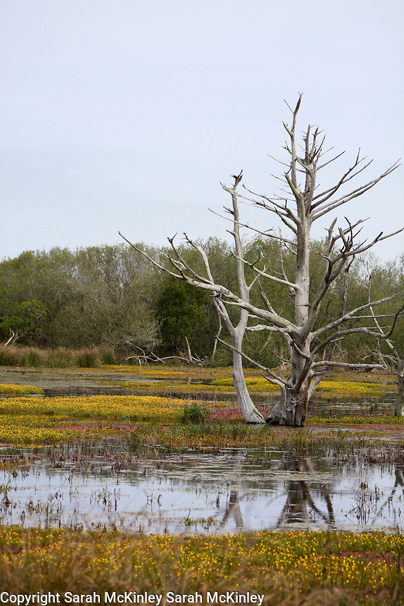 A spikey, barren tree, surrounded by yellow flowers, rises from the waters of a bog on Samoa near Eureka in Humboldt County in Northern California.