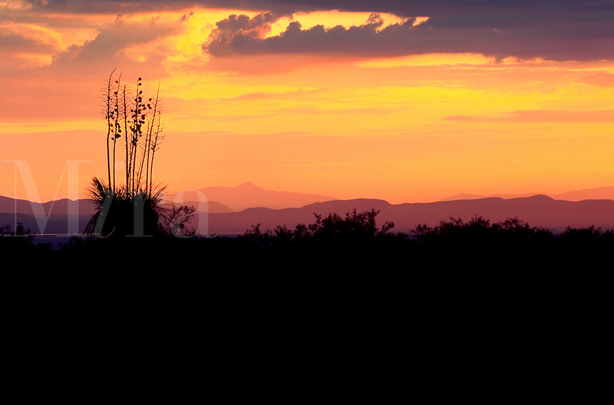 The silhouette of a Yucca plant (Yucca elata) aka - Soapweed, Soaptree Yucca during a scenic desert sunset. Arizona.