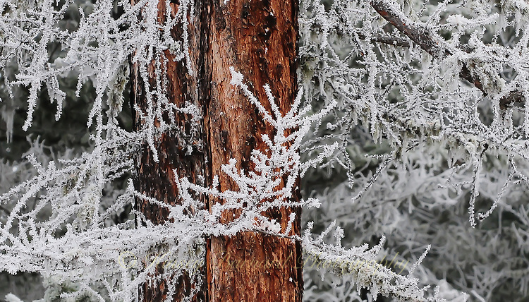 &quot;HOAR FROST ON LARCH&quot;<br /> <br /> (1) 24 X 14 canvas print $1,200<br /> <br /> 16 x 12.5 signed paper print<br /> 1/50 $95.00<br /> <br /> <br /> <br /> <br /> <br /> <br /> Lacey hoar frost clings to a western larch, replacing the green needles it lost in the Fall. The rich red bark provides a lovely contrast.