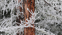 """HOAR FROST ON LARCH""<br />