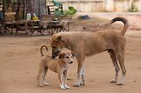 dogs in a small village near Bagan, Myanmar