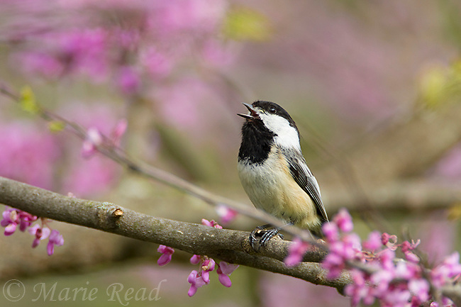 Black-capped Chickadee (Poecile atricapilla) singing while perched in flowering eastern redbud in spring, New York, USA