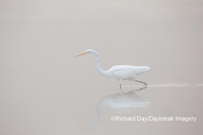 00688-02310 Great Egret (Ardea alba) in wetland in fog, Marion Co., IL