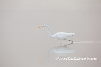 00688-02310 Great Egret (Ardea alba) in wetland in fog, Marion Co., IL