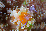 Sarasvati anemone shrimp (Periclimenes sarasvati) on orange and green anemone, Cenderawasih Bay