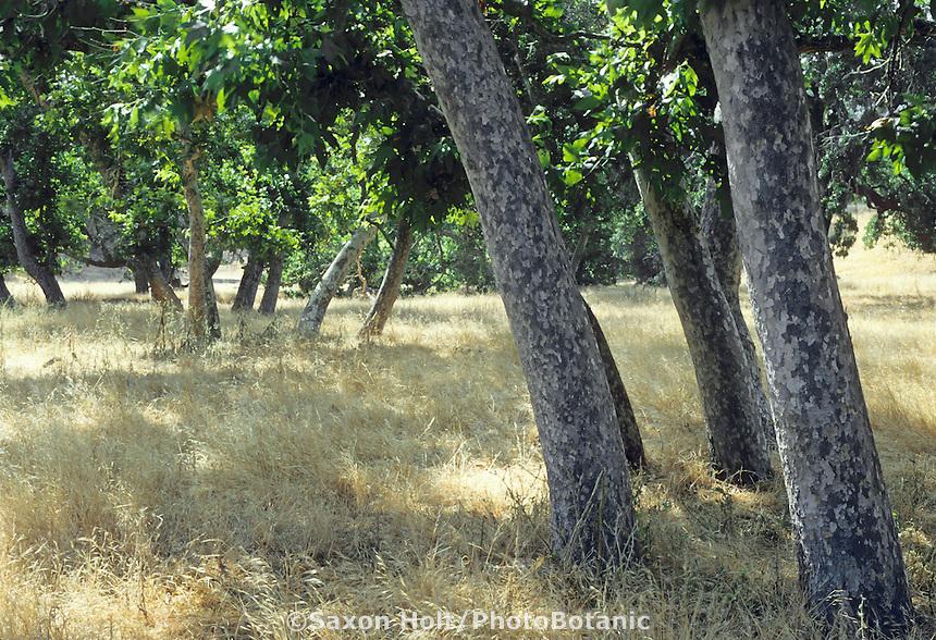 Platanus racemosa (California Sycamore) native trees at Hasting's Preserve.