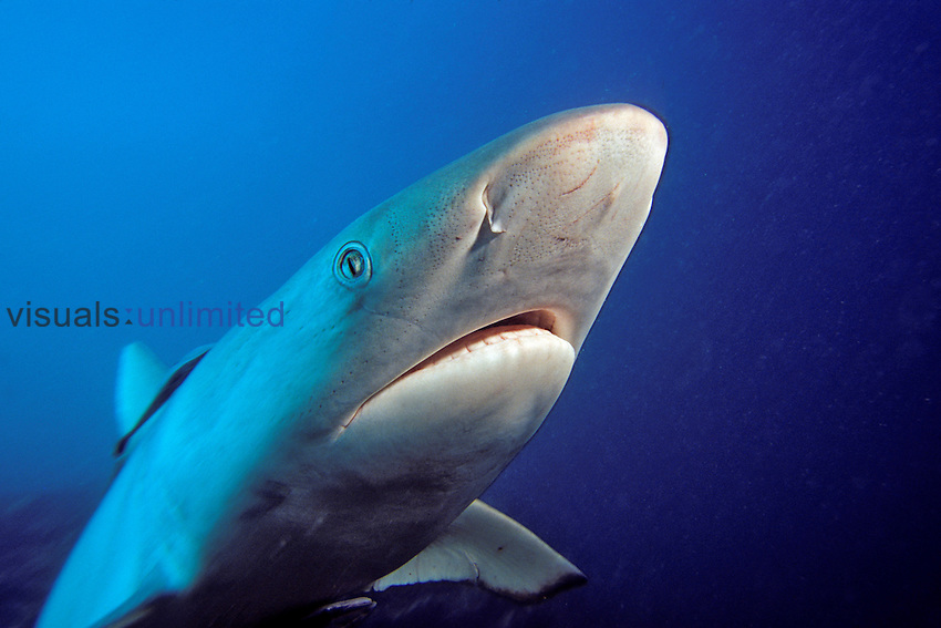 Gray Reef Shark head (Carcharhinus amblyrhynchos), Fiji.