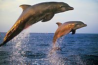 Common Bottlenose Dolphins or Bottle-nosed dolphins (Tursiops truncatus) jumping in late evening.