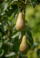 Pear bush (Pyrus) variety Concorde, in a garden, Chipping, Lancashire.