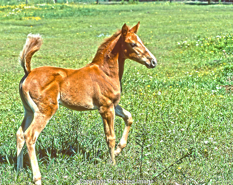 A frisky colt prancing in a Houston field.