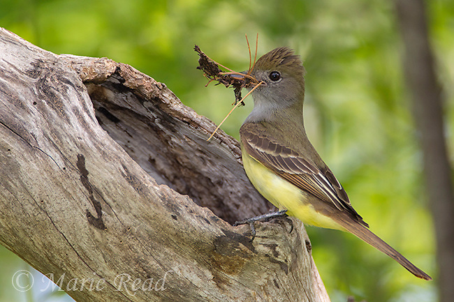 Great Crested Flycatcher (Myiarchus crinitis) adult outside nest cavity entrance holding nest material (including pine needles) in its bill, New York, USA