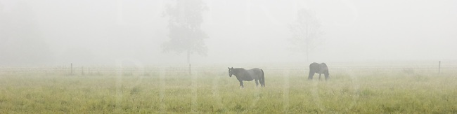 Two horses in early morning fog as a 4 to 1 panoramic image.