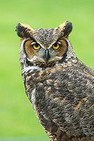 Great Horned Owl (Bubo virginianus), Ohio