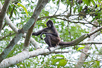 Central American  Spider Monkey, Lago Petexbatun, Peten, Guatemala