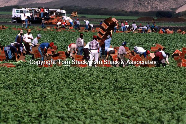Lettuce harvest, Salinas, California
