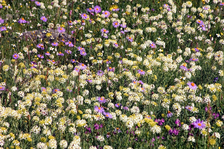 Fields of wildflowers including eidelweiss & gentian cover the high altitude pastures - Kham (E. Tibet), Sichuan Province, China
